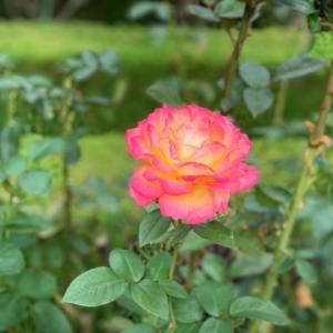 旧古河庭園 2 薔薇 * 東京都北区西ヶ原