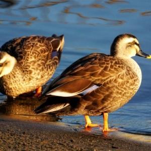 手賀沼で必ず出会える鴨達