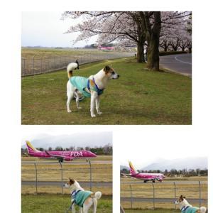 桜とちゃびと飛行機と