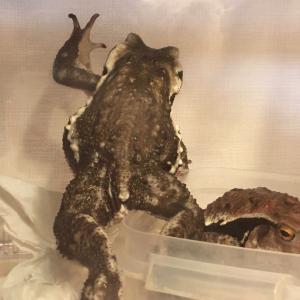 カエルっぽいポーズ