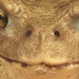 カエルの鼻の穴