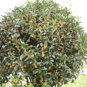 キンモクセイ ようやく咲いて 良い香り