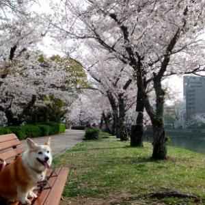 桜満開☆in 宮島♪桜探し編