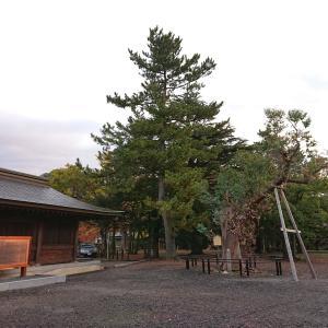 曙町(気比神宮のユーカリノキ)