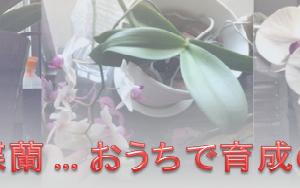 My胡蝶蘭…おうちで育成の記録…ドンドン綴りますネ!
