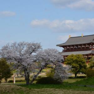 鴻雁北(こうがんかえる)頃、桜いっぱいのお稽古