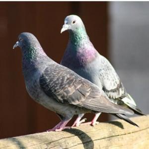 鳩ぽっぽ 28
