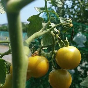 トマト、害虫被害の真っ最中