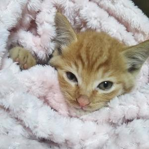 茶トラの子猫保護