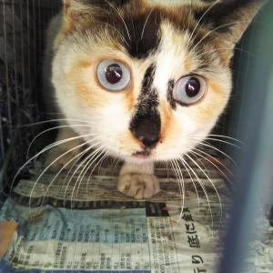 青い目の三毛猫