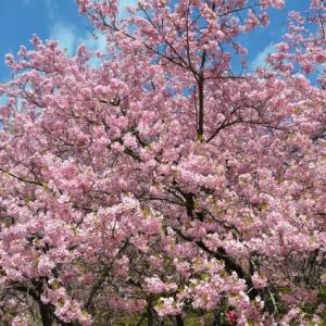 春の訪れー松田山の河津桜