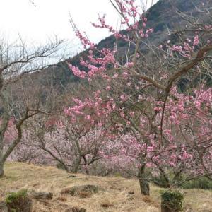 早春の湯河原梅林