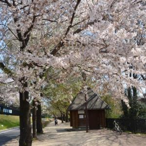 武蔵野の桜
