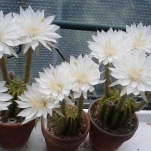サボテンの花!