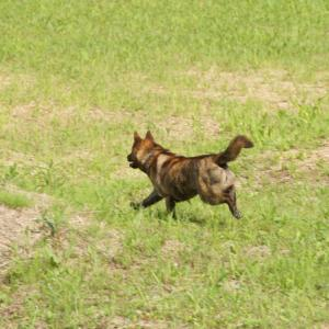 日本犬 愛玩犬か使役犬 か ???(2)