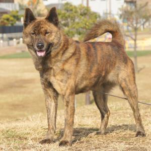 我が家の愛犬 ハナの紹介