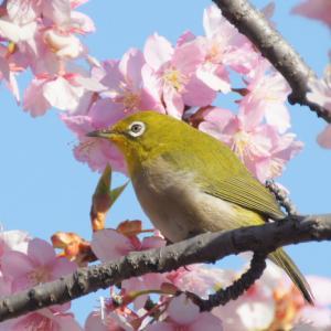 桜とメジロ 春の風景 !!