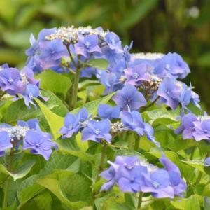 梅雨の季節の花 アジサイ