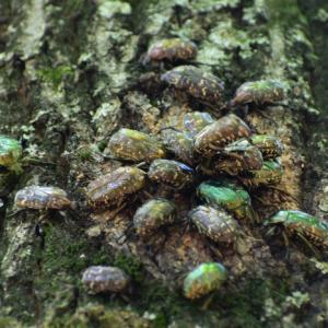 コガネムシが、大好きな 木