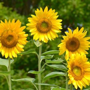 """夏の花と言えば """" ひまわり """""""