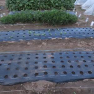 玉葱 ほうれん草 種蒔き