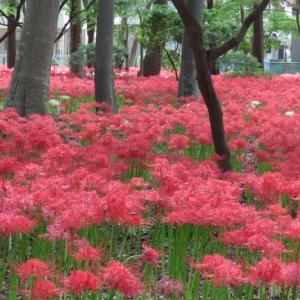 巾着田のミニ版の言われる~松戸の祖光院の彼岸花を見に