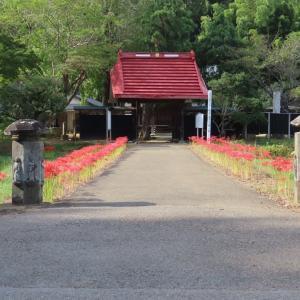 印西・結縁寺の彼岸花