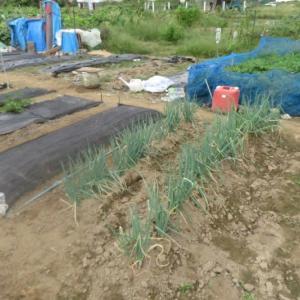 家庭菜園 苺の植え替えと大根、白菜、サニーレタス