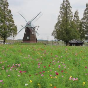 あけぼの山公園 風車前のコスモスとキバナコスモス