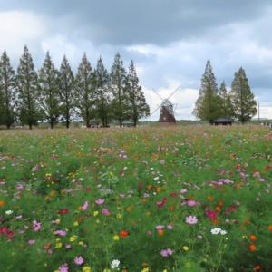 あけぼの山公園 風車前のコスモス
