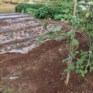 家庭菜園 空豆 豆類の準備、追肥、雑草刈り、
