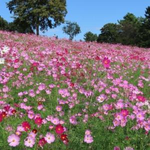 昭和記念公園 壮大なスケールの花の丘~息を呑むほどの美しさに