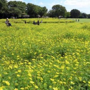 昭和記念公園 原っぱ東花園・原っぱ西花園・日本庭園前のコスモス
