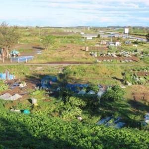 台風19号 雨風の後 朝7時に家庭菜園と利根川を6号線 取手大利根橋