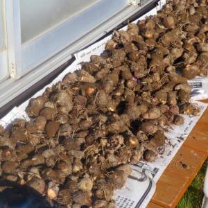 家庭菜園 水害20日の里芋を本収穫と玉葱苗植え