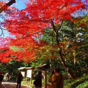 黄門様のゆかりの小石川後楽園の紅葉