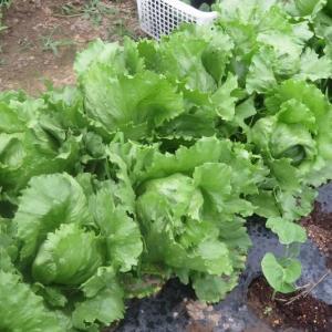 家庭菜園 雑草刈り、大玉トマト、小玉スイカ・、胡瓜などの整備と状態