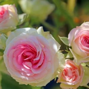 京成バラ園 10,000株のバラが咲く