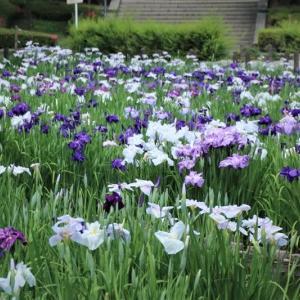 野田総合運動公園の花菖蒲