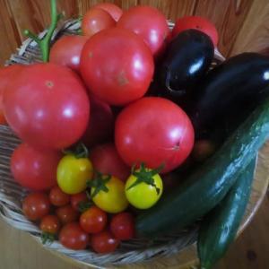 小玉スイカ・大玉トマトの手入れと大量収穫