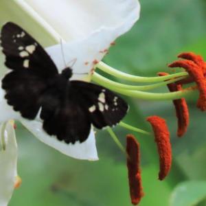 この蝶の名は・・・新種? 調べてもわからない