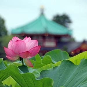 上野公園 不忍池のハス