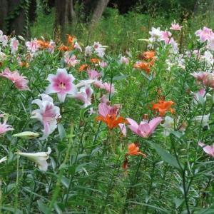 日比谷公園のユリ花壇と薔薇