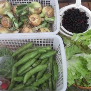 家庭菜園 支柱立て・収穫・連作障害