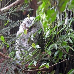 公園のフクロウの巣立ちとオオルリ・キビタキ