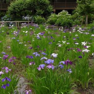 本土寺の花菖蒲が見頃でした
