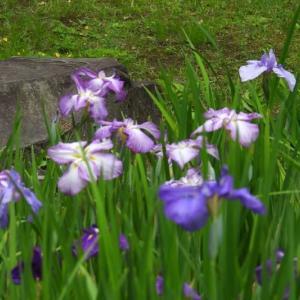 皇居東御苑 二の丸庭園の菖蒲 など