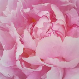 ピンク色のフラワーエネルギーを♡