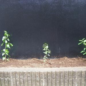 柑橘の苗を植えてみた