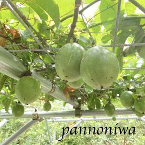 パンションフルーツが豊作♪